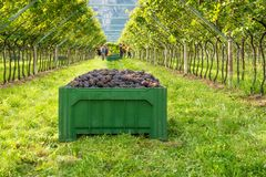 Crate of harvested grapes and rows of vines during the grape harvest in the South Tyrol / Trentino Alto Adige, northern Italy.  royalty free stock photos