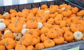Crate of mini pumpkins royalty free stock photography