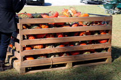 Crate of miniature pumpkins Royalty Free Stock Photo