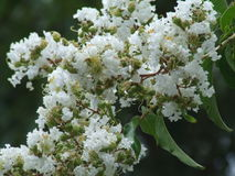 Crate myrtle. White crate myrtle tree flowers Royalty Free Stock Photos
