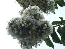 Crate myrtle. White crate myrtle tree flowers Stock Image