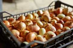 Crate of onions Stock Image