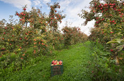 Crate in orchard. Ripe apples on trees and in crate in orchard Stock Photo