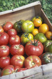 Crate of organic tomatoes Royalty Free Stock Photography