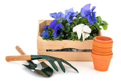 Crate Pansy plants Stock Image