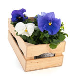 Crate Pansy plants Stock Photos