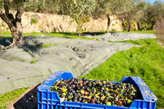 Crate with picked olives Royalty Free Stock Photos