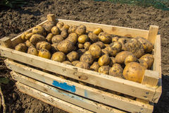 A crate of Potatoes freshly dug from the earth Royalty Free Stock Images