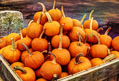 Crate of Punpkins. Pumpkins, like other squash, are native to North America. Pumpkins are widely grown for commercial use, and are used both in food and Stock Image