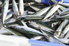 Crate of raw mackerel Royalty Free Stock Photos