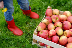 Crate with red organic apples and children boots Stock Photos