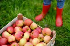 Crate with red organic apples and children boots Stock Photo