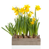 Crate yellow daffodils Stock Photos