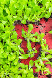 Crate with young lettuce plants Royalty Free Stock Photography
