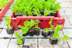 Crate with young lettuce plants Royalty Free Stock Photo