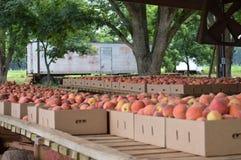 Crated Peaches Stock Photos
