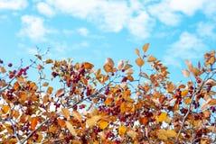 Cratego con le foglie arancio e le bacche rosse immagini stock libere da diritti