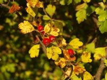 Cratego con le foglie gialle Fotografia Stock Libera da Diritti