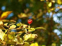 Cratego con le foglie gialle, bokeh Fotografia Stock