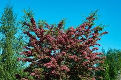Cratego di fioritura fotografie stock