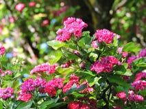 Cratego di fioritura rosa di estate, Lituania Fotografia Stock