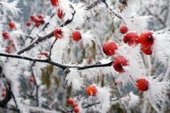 Cratego gelido delle bacche nel ramo della neve con i fiocchi di neve Fotografia Stock Libera da Diritti