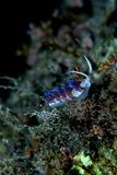 Cratena de Nudibranchs Images stock