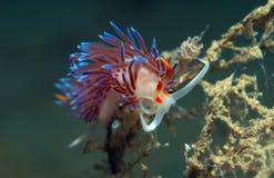 Cratena peregrina. Small invertebrate looking food on algae Stock Photo