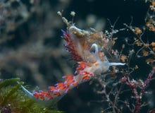 Cratena peregrina. Small invertebrate looking food on algae Stock Images