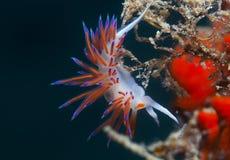 Cratena peregrina. Small invertebrate looking food on algae Royalty Free Stock Image
