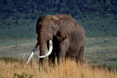 Crater elephant. A large elephant in Tanzania Royalty Free Stock Images