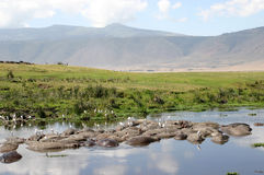 Crater Landscape with Hippos. The hippopotamus pool in the Ngorongoro Crater in Tanzania Stock Images