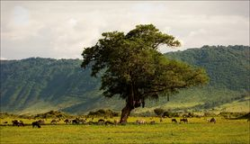 In a crater of Ngoro ngoro. Royalty Free Stock Image