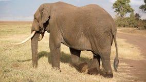 Elephant, Ngorongoro crater, Tanzania stock images