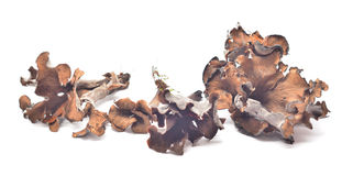 Craterellus cinereus Royalty Free Stock Images
