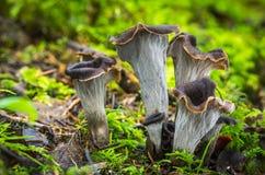 Craterellus cornucopioides. Edible mushrooms with excellent taste, Craterellus cornucopioides Royalty Free Stock Photo