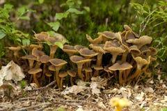 Craterellus tubaeformis Stock Photography