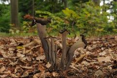 Craterelluscornucopioide pilzartig mit Bäumen des Waldes im Hintergrund Lizenzfreie Stockfotografie