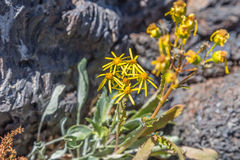 Craters of the Moon National Monument Wildflowers Stock Photography