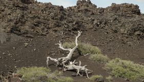 Craters of the Moon National Park. Ancient tree limb at Craters of the Moon National Park in Idaho Royalty Free Stock Photo