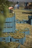 Harvesting the grape vines. Crates with blue grapes in a vine yard in Europe, men at work harvesting Royalty Free Stock Photos
