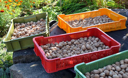 Crates with drying walnuts Stock Image