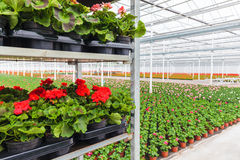 Crates with Dutch geranium plants ready for export Stock Image