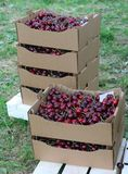Crates full and basket of great and juicy ripe red cherries on s Stock Image