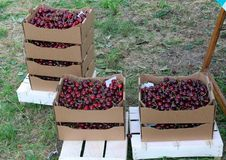 Crates full and basket of great and juicy ripe red cherries on s Royalty Free Stock Photography