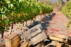 Crates for grape harvesting Royalty Free Stock Image