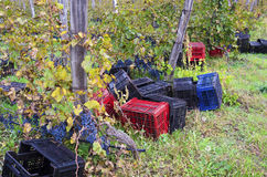 Crates on the ground in a vineyard row in Bulgaria. In the countryside Royalty Free Stock Images