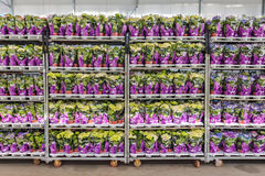 Crates with packed geranium plants ready for export Stock Images