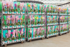 Crates with packed orchid flowering plants ready for export Royalty Free Stock Photos