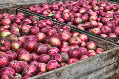 Crates of Rotten Apples. Rotten red apples in wooden crates Royalty Free Stock Image